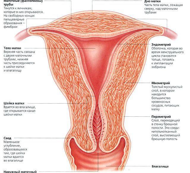 Що таке ендометрій і його роль в жіночому здоров'ї