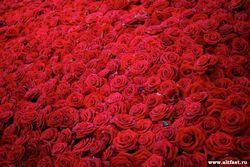 Гербери - квіти радості і щастя