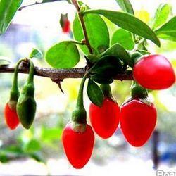 Ягоди годжі для схуднення і здоров'я: як приймати і де замовити ягоди годжі