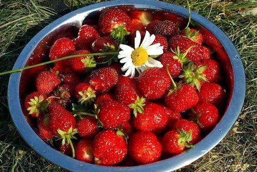 Як і коли удобрювати полуницю