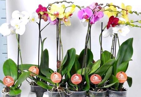 Як розмножити орхідею фаленопсис в домашніх умовах, відео