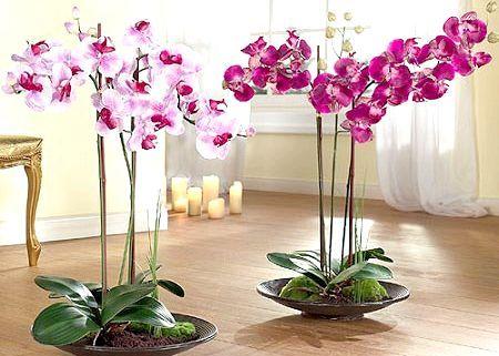 Як ще можна розмножити орхідею?