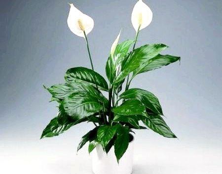 Спатифіллум можна ростити в офісі