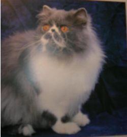 Коли вашій кішці потрібна стрижка?