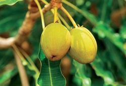 Лікувальна дерево для жіночого здоров'я