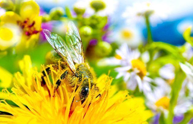 Мед з кульбаб - користь і рецепти
