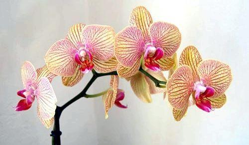 Догляд за орхідеєю в домашніх умовах