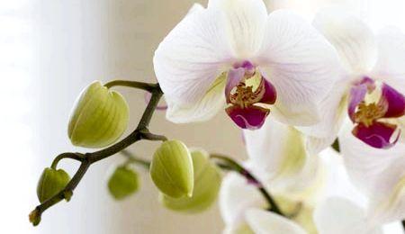 Пересадка орхідей в домашніх умовах