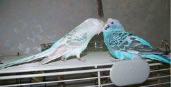 Хвилястий папуга як домашня тварина: чим годувати цю пташку?