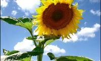 Вирощуємо соняшник